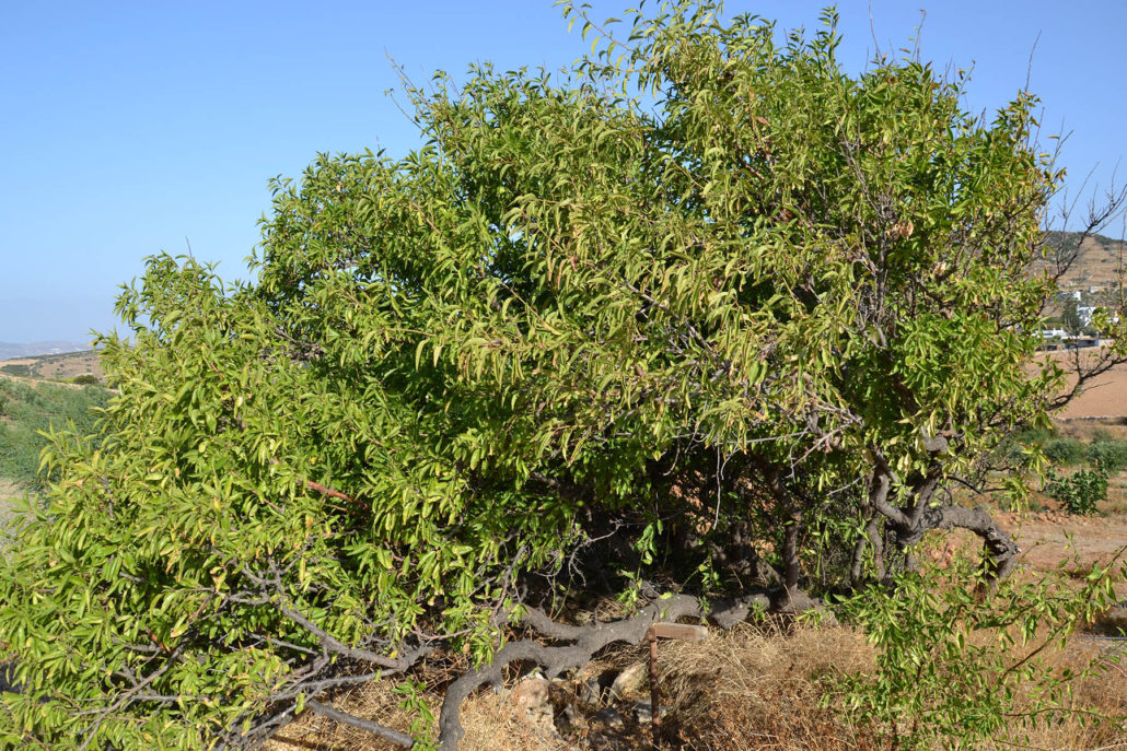 Our old almond tree