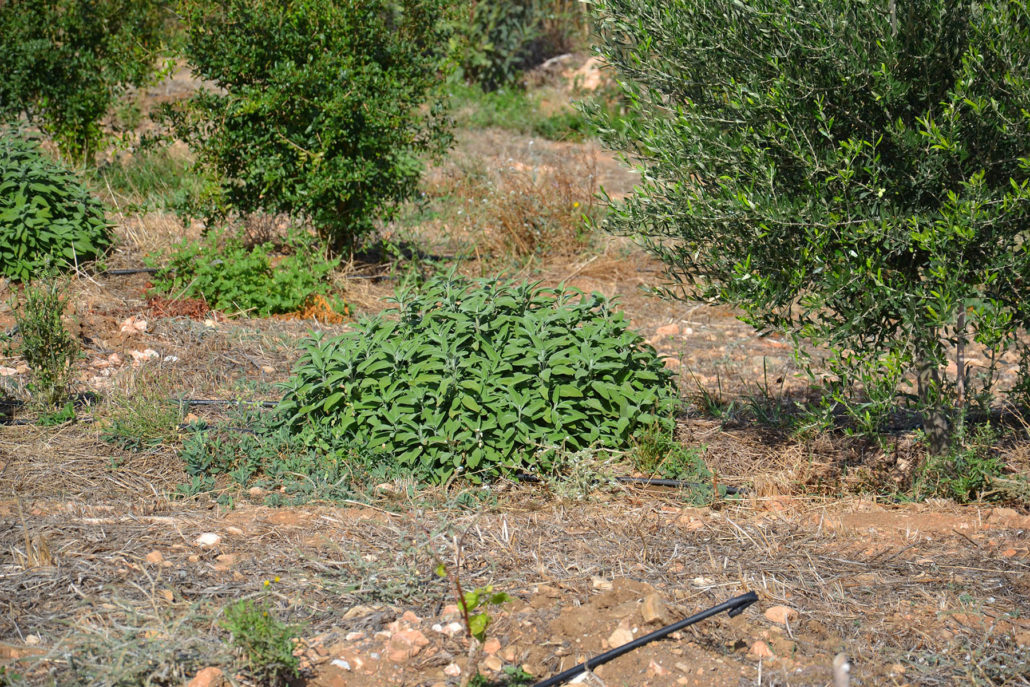sage, olives and pomegranates