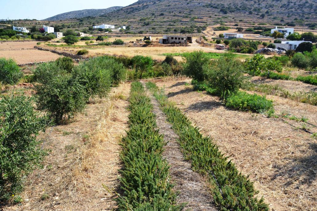 oregano and sea fennel