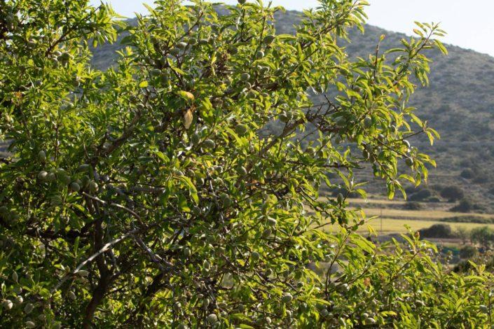 2018: Ντόπια αμυγδαλιά, το πιο παλιό δέντρο του κτήματος