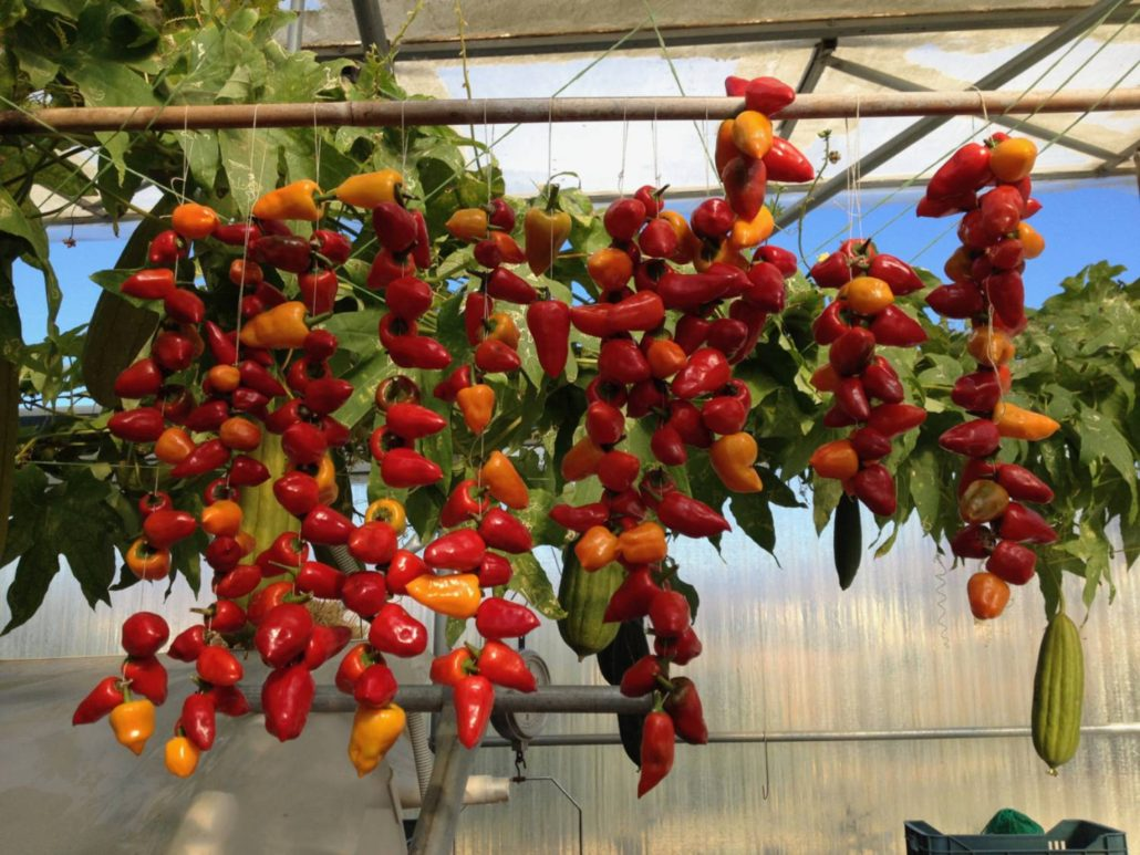 2017: Καυτερές πιπεριές Πάρου