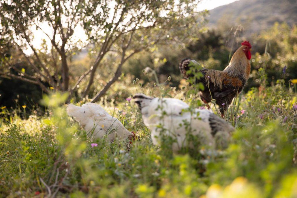 2018: Οι κότες μας εν ώρα εργασίας