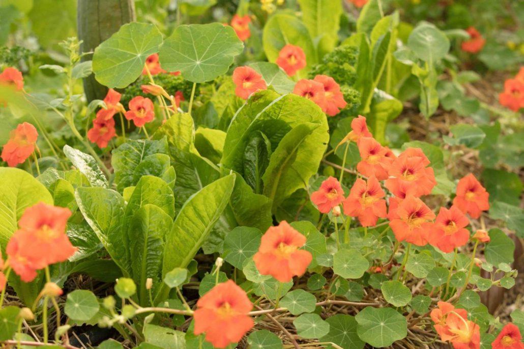 2018: Μαρούλια και καπουτσίνος, συγκαλλιέργεια στο λαχανόκηπο