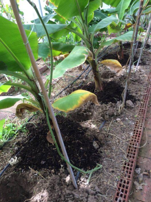 2017: Κρητικές μπανανιές στο θερμοκήπιο